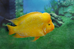 Beautiful aquarium fish Amphilophus citrinellus Stock Images