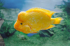 Beautiful aquarium fish Amphilophus citrinellus Stock Image