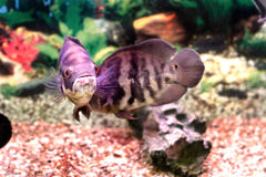 Beautiful aquarium fish Astronotusa Stock Images