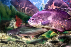 Beautiful aquarium fish Astronotusa Royalty Free Stock Photos