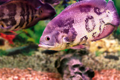 Beautiful aquarium fish Astronotusa Royalty Free Stock Photography