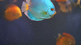 Beautiful aquarium fish. Beautiful blue aquarium fish close-up stock video