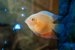 Beautiful aquarium fish Royalty Free Stock Images