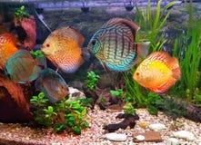 Beautiful aquarium with fish discus royalty free stock image