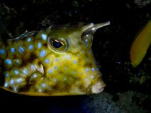 Beautiful aquarium fish Lactoria cornuta. Royalty Free Stock Image