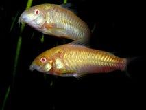 Beautiful aquarium fish / plant / amphibian Corydoras paleatus Stock Photography
