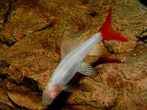 Beautiful aquarium fish / plant / amphibian Labeo Stock Photo