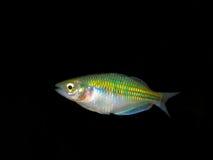 Beautiful aquarium fish / plant / amphibian Rainbow fish Royalty Free Stock Photography