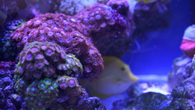 Beautiful aquarium fish. Beautiful yellow aquarium fish close-up stock video
