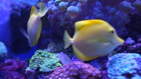 Beautiful aquarium fish. Beautiful yellow aquarium fish close-up stock video footage