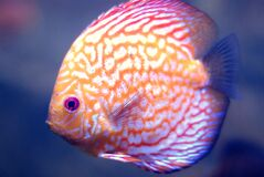 Beautiful aquarium fish with yellow-red  coloring
