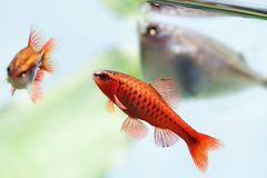Beautiful aquarium fishes red orange color. Cherry barb fishes macro nature concept. shallow depth of field, selective Royalty Free Stock Image