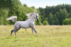 Beautiful arab stallion Royalty Free Stock Photography