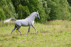 Beautiful arab stallion Stock Photography