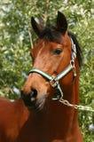 Beautiful arabian. A beautiful arabian horse against a green background stock image