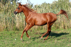 Beautiful arabian breed horse running on the field. Side view shot of a galloping young arabian  stallion on pasture Stock Photography