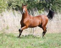 Beautiful arabian breed horse running on the field Royalty Free Stock Photo