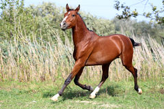 Beautiful arabian breed horse running on the field. Arabian stallion runs gallop across summer meadow against natural reed background Stock Photo