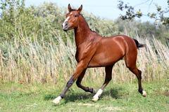 Beautiful arabian breed horse running on the field Stock Photo