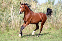 Beautiful arabian breed horse running on the field Royalty Free Stock Photo