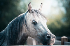 Beautiful arabian gray horse head at paddock fence stock photo