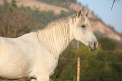 Beautiful arabian horse in autumn Stock Photo