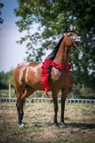 Beautiful Arabian horse. royalty free stock photo