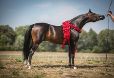 Beautiful Arabian horse. stock image