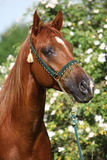 Beautiful arabian horse in front of some blossoms Royalty Free Stock Image