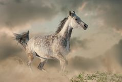 Free Beautiful Arabian Horse In The Dust Running Stock Photos - 138536353