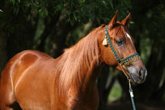 Beautiful arabian horse with nice show halter Stock Photography
