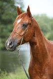 Beautiful arabian horse with nice show halter. In front of a river royalty free stock image