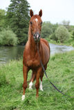 Beautiful arabian horse with nice show halter. In front of a river stock photos