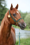 Beautiful arabian horse with nice show halter. In front of river royalty free stock photos