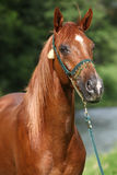 Beautiful arabian horse with nice show halter. In front of river stock image