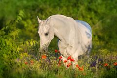 White stallion on poppy stock images