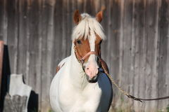 Beautiful arabian horse portrait in summer Royalty Free Stock Photo