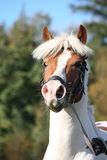 Beautiful arabian horse portrait in summer Stock Photos