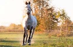 Beautiful arabian horse run gallop in flower meadow Stock Image