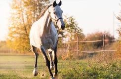 Beautiful arabian horse run gallop in flower meadow Royalty Free Stock Photography