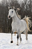Beautiful arabian horse running on the. Beautiful arabian stallion or mare running on the snow Stock Images