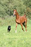 Beautiful arabian horse running with a dog Stock Images