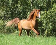 Beautiful arabian horse running in freedom
