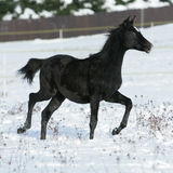 Beautiful arabian horse running in winter Royalty Free Stock Photo