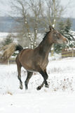 Beautiful arabian horse running in winter Stock Photo