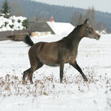 Beautiful arabian horse running in winter Royalty Free Stock Images