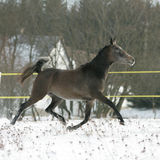 Beautiful arabian horse running in winter Stock Image