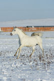 Beautiful arabian horse running in winter Stock Images