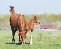 Beautiful arabian mare and foal Stock Photography