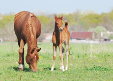 Beautiful arabian mare and foal Stock Image